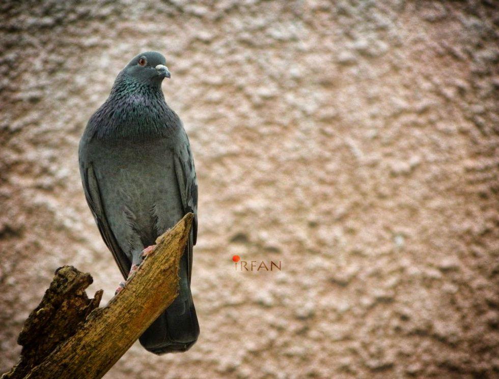 pigeon posing like eagle wordpress