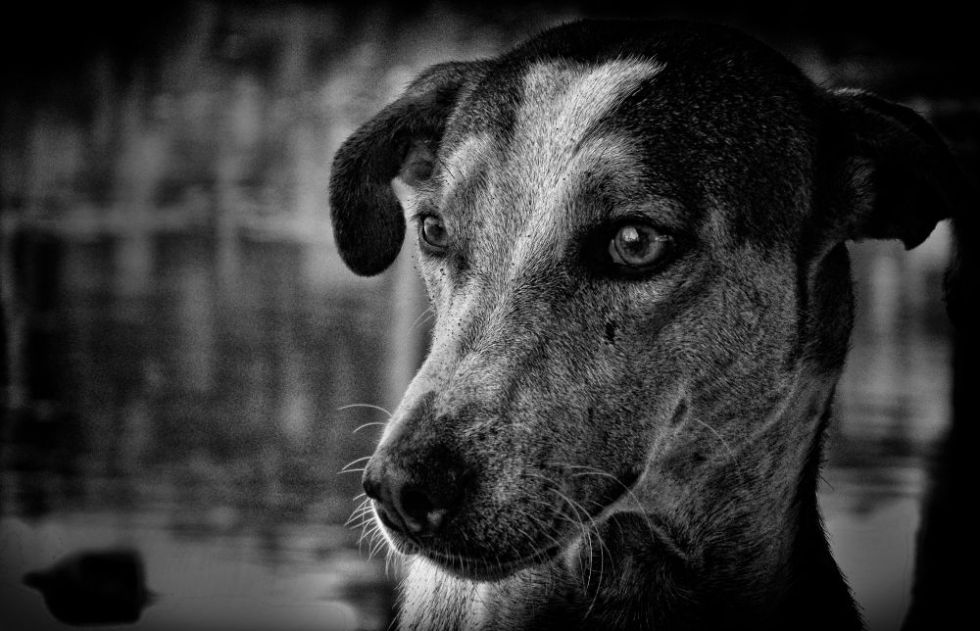 dog, black and white, portraits, irfan hussain, thereddotman, irfan, hussain