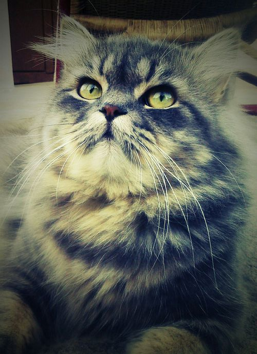 Muffin the persian cat