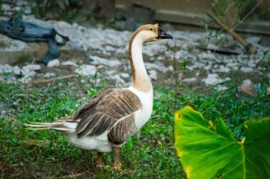 duck, irfan, thereddotman, nikon d3300, 55-200 pictures